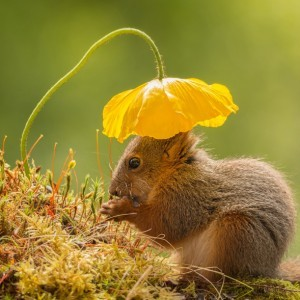female red squirrel standing under flower