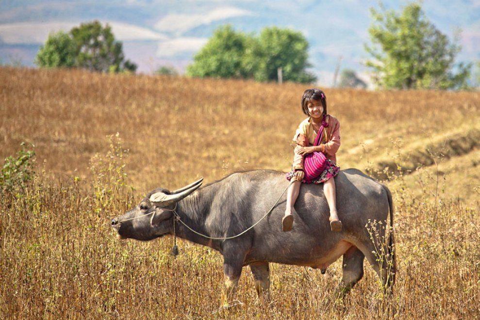 Μιανμάρ. Ούτε σχολικό λεωφορείο ούτε ποδήλατο γι' αυτό το κορίτσι. Στο σχολείο πηγαίνει καβάλα σε έναν βούβαλο