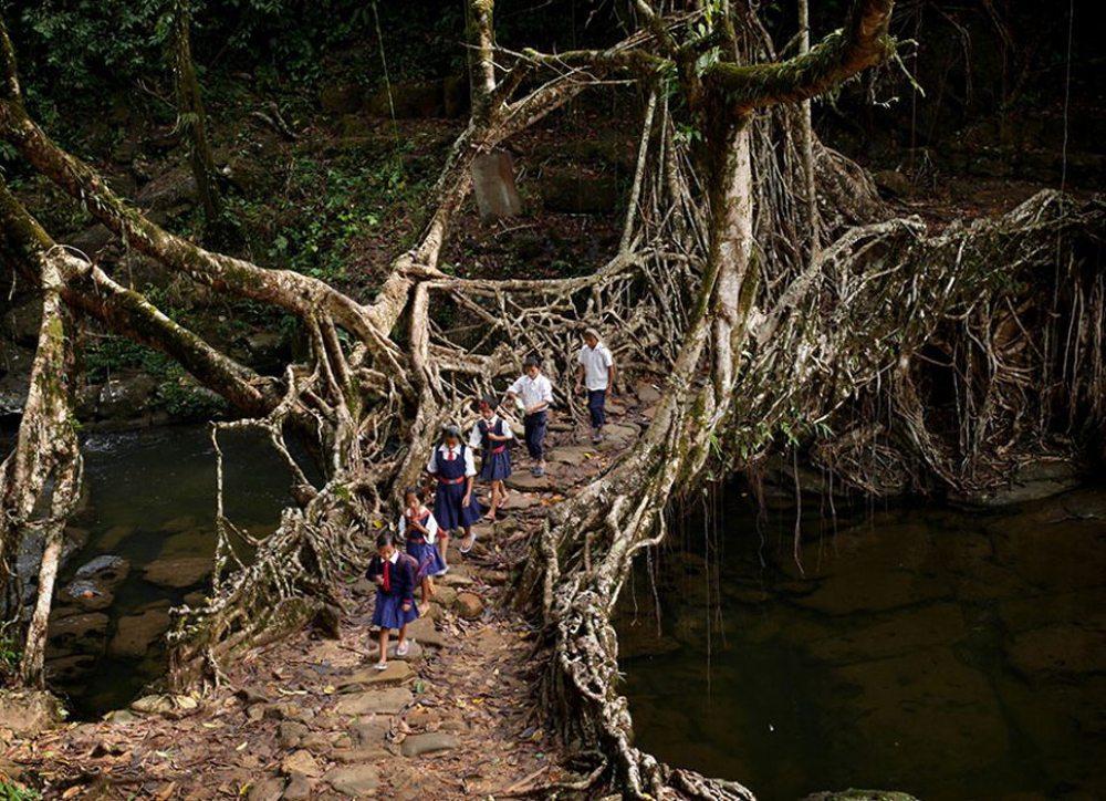 Ινδία. Οι ρίζες αυτού του δέντρου έχουν δημιουργήσει μια πανέμορφη φυσική γέφυρα. Χάρις σε αυτήν τα παιδιά καταφέρνουν να πάνε σχολείο πιο εύκολα