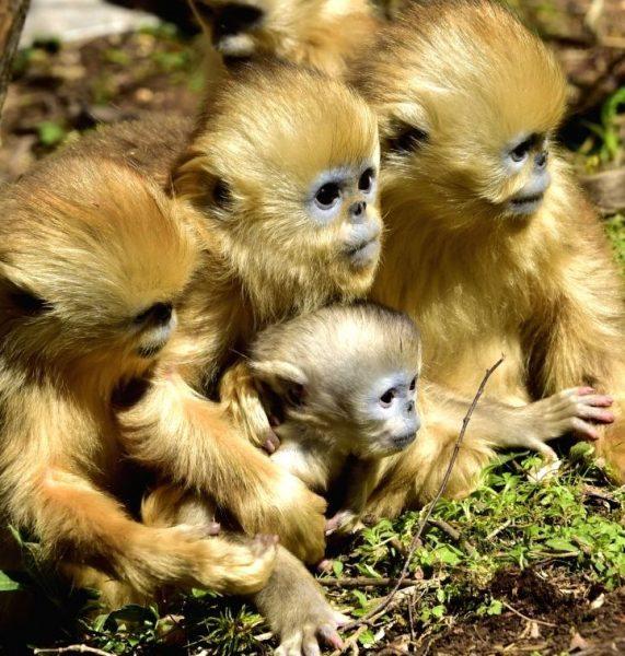 shennongjia-april-30-2016-a-baby-golden-monkey-is-413416