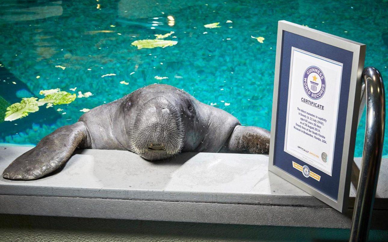 O μεγαλύτερος μάνατος (υδρόβιο θηλαστικό) που ζει σε αιχμαλωσία είναι ο «Σνούτι» που γεννήθηκε στις 21 Ιουλίου του 1948. Αυτό σημαίνει ότι το γλυκύτατο ζώο που ζει στην Φλόριντα είναι 66 ετών