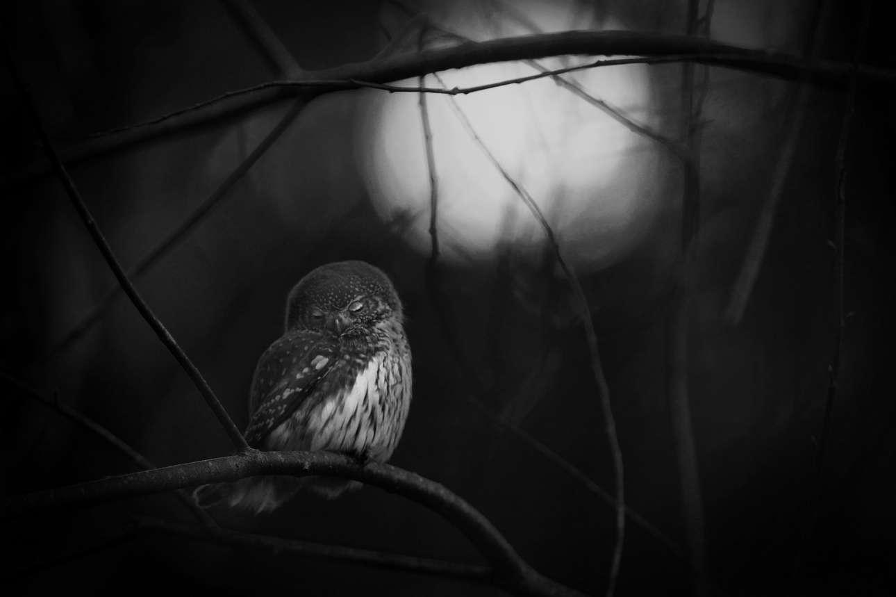 Ματς Αντερσον - Σουηδία / Καθημερινά, στις αρχές του Φθινοπώρου, ο Αντερσον περπατούσε στο δάσος δίπλα στο Μπασούλτ της νότιας Σουηδίας. Εκεί απολάμβανε την παρέα των σπουργιτόγλαυκων (μικρότερες κουκουβάγιες της Ευρώπης).  H κουκουβάγια της φωτογραφίες κοιτάζει με θλίψη μία άλλη που βρίσκεται νεκρή στο έδαφος