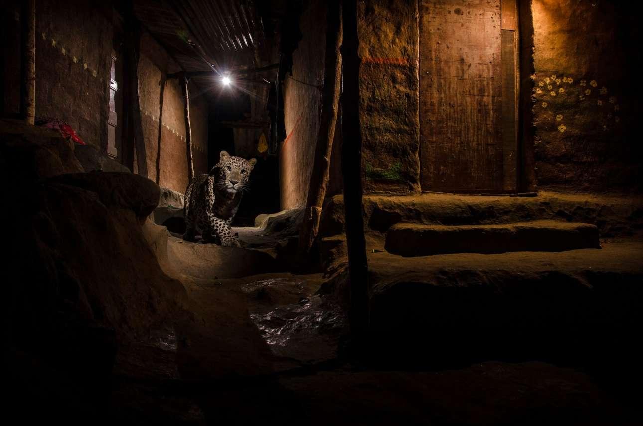 Ναγιάν Κάνολκαρ - Ινδία / Την νύχτα, σε ένα προάστιο του Μουμπάι, οι λεοπαρδάλεις ψάχνουν για φαγητό στους δρόμους. Ο φωτογράφος προσπαθούσε για μεγάλο χρονικό διάστημα να αποτυπώσει μία λεοπάρδαλη  σε αυτό το σκηνικό για να δείξει μία άλλη πτυχή της ζωής των άγριων αυτών ζώων