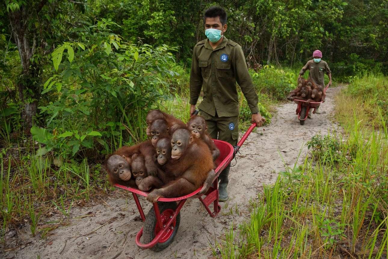 Τιμ Λαμάν - Αμερική / Οι άνδρες των ομάδων διάσωσης κάνουν σπουδαία δουλειά προστατεύοντας τους ουρακοτάγκους στις επαρχίες της Ινδονησίας. Στην εικόνα οι μικροί ουραγκοτάγκοι μεταφέρονται στο δάσος όπου μπορούν να παίξουν και να μάθουν να επιβιώνουν