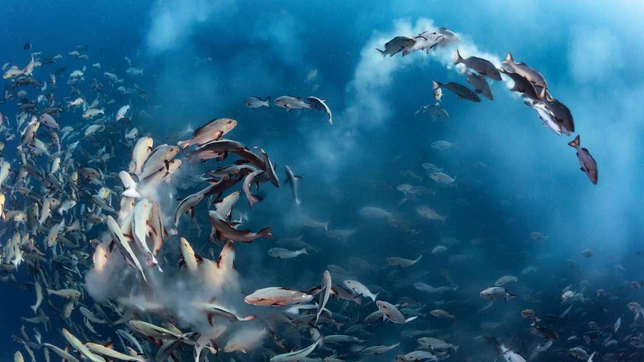 Τόνι Γου - Αμερική / Για αρκετές ημέρες κάθε χρόνο εκατοντάδες μικρές λουτιανίδες μαζεύονται για να γεννήσουν τα αυγά τους στον δυτικό Ειρηνικό Ωκεανό. Εκείνες τις ώρες οι θάλασσα αλλάζει χρώμα από το αυγά και το σπέρμα των ψαριών
