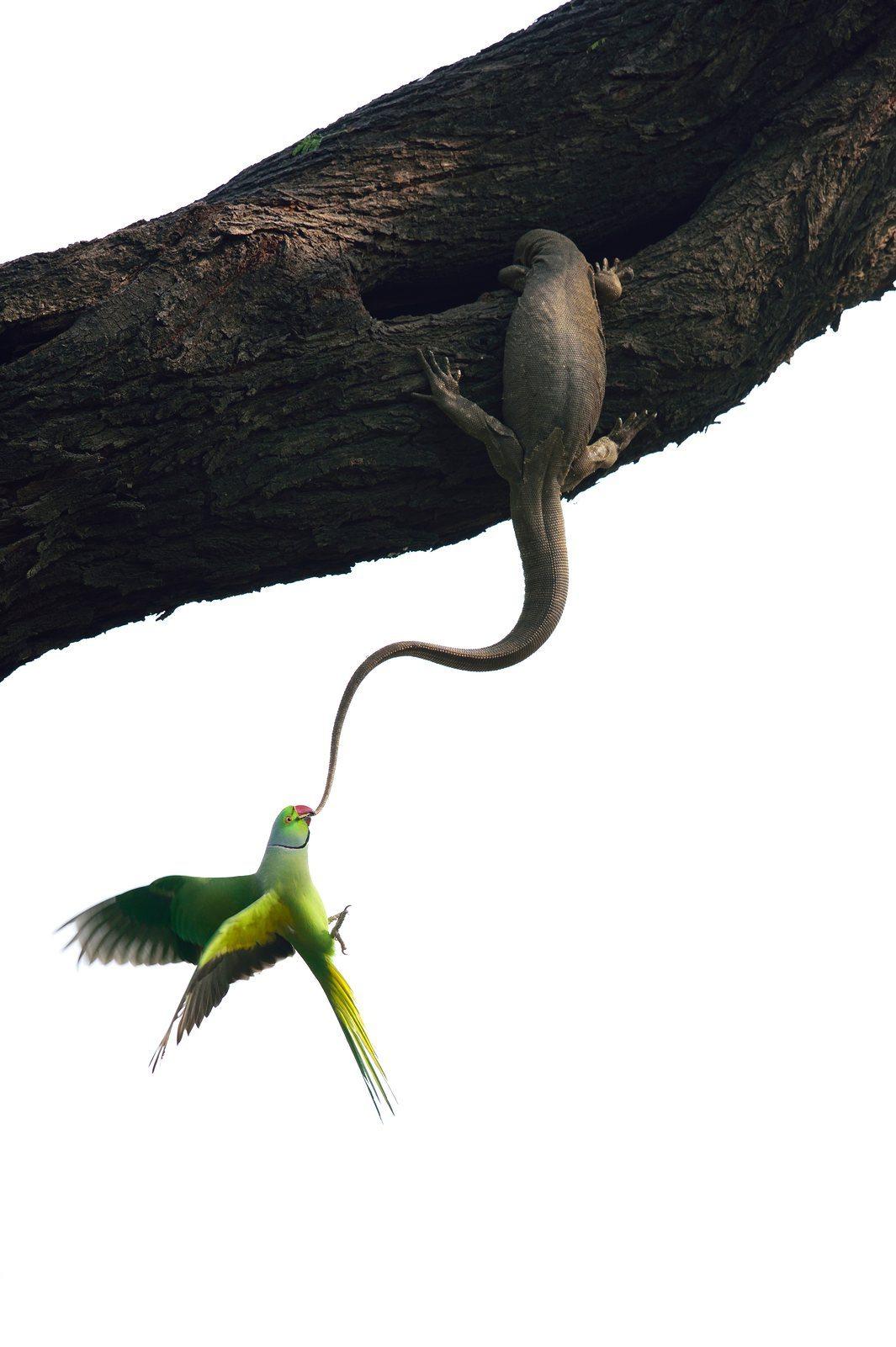 Γκανές Σανκάρ - Ινδία / Επιστρέφοντας στο σπίτι του που βρίσκεται στην κουφάλα ενός δέντρου, ο παπαγάλος ανακάλυψε ότι μία σαύρα είχε κάνει κατάληψη. Ετσι άρχισε να της δαγκώνει την ουρά μέχρι να καταφέρει να γυρίσει στην φωλιά