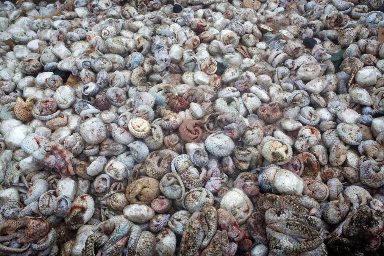 Πωλ Χίλτον - Αυστραλία / Κανένας δεν προετοίμαζε τον φωτογράφο για το θέαμα 4000 ξεπαγωμένων παγκολίνων. Αυτά τα μικρά ζώα προορίζονται για τις αγορές της Κίνας και του Βιετνάμ. Εκτός από το ιδιαίτερο κρέας τους, τα παγκολίνοι χρησιμοποιούνται για την δημιουργία παραδοσιακών φαρμάκων
