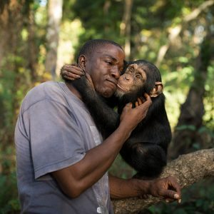 SOMORIA, GUINEA - NOVEMBER 25:  Keeper Albert Wamouno interacts with Hawa during a bushwalk, at the Chimpanzee Conservation Centre, (CCC) on November 25, 2015 in Somoria, Guinea. Hawa was rescued from poachers by Guinee Application de la Loi Faunique, (GALF). The poachers had killed Hawas mum and ate her. The CCC is a sanctuary and a rehabilitation centre for rescued orphaned chimpanzees and is supported in part by Project Primate, Inc., a US NGO. The centre is located on the Banks of the River Niger in the Haut Niger National Park in Guinea, West Africa and consists of around 6000 square km of Savannah and tropical dry forests. The CCC currently looks after 50 Western Chimpanzees, one of the most endangered sub species of chimpanzee. Most of the animals were orphaned and subsequently rescued after being taken as babies in the wild from their family groups. According to the Great Apes Survival Partnership, (GRASP), for every young Chimpanzee rescued, around 10 of its family members will have likely been killed in the process. The centre rehabilitates and cares for the animals, and ultimately aims to release them back into the wild, a process that take over 10 years. The animals often suffer from physical and psychological damage, but with care, attention and compassion from the keepers and volunteers, the animals begin the long process of gaining independence and learning how to survive in the wild. As they develop they are slowly integrated back into larger family groups until they are ready for their eventual release when possible.  (Photo by Dan Kitwood/Getty Images)