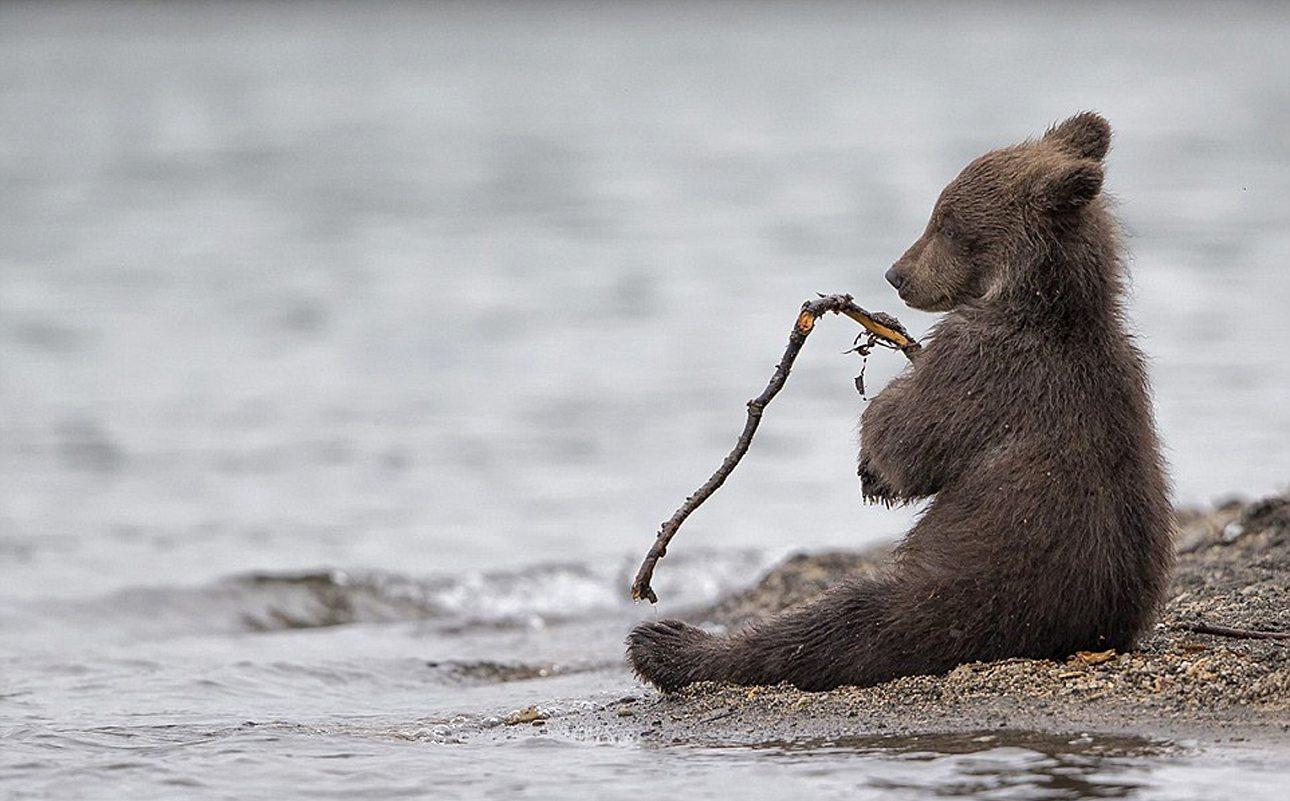 Eιδική Μνεία, κατηγορία Αγρια Φύση: Ενα αξιολάτρευτο αρκουδάκι παίζει με ένα κλάδι στην ακτή της χερσόνησου Καμτσάτκα στη Ρωσία