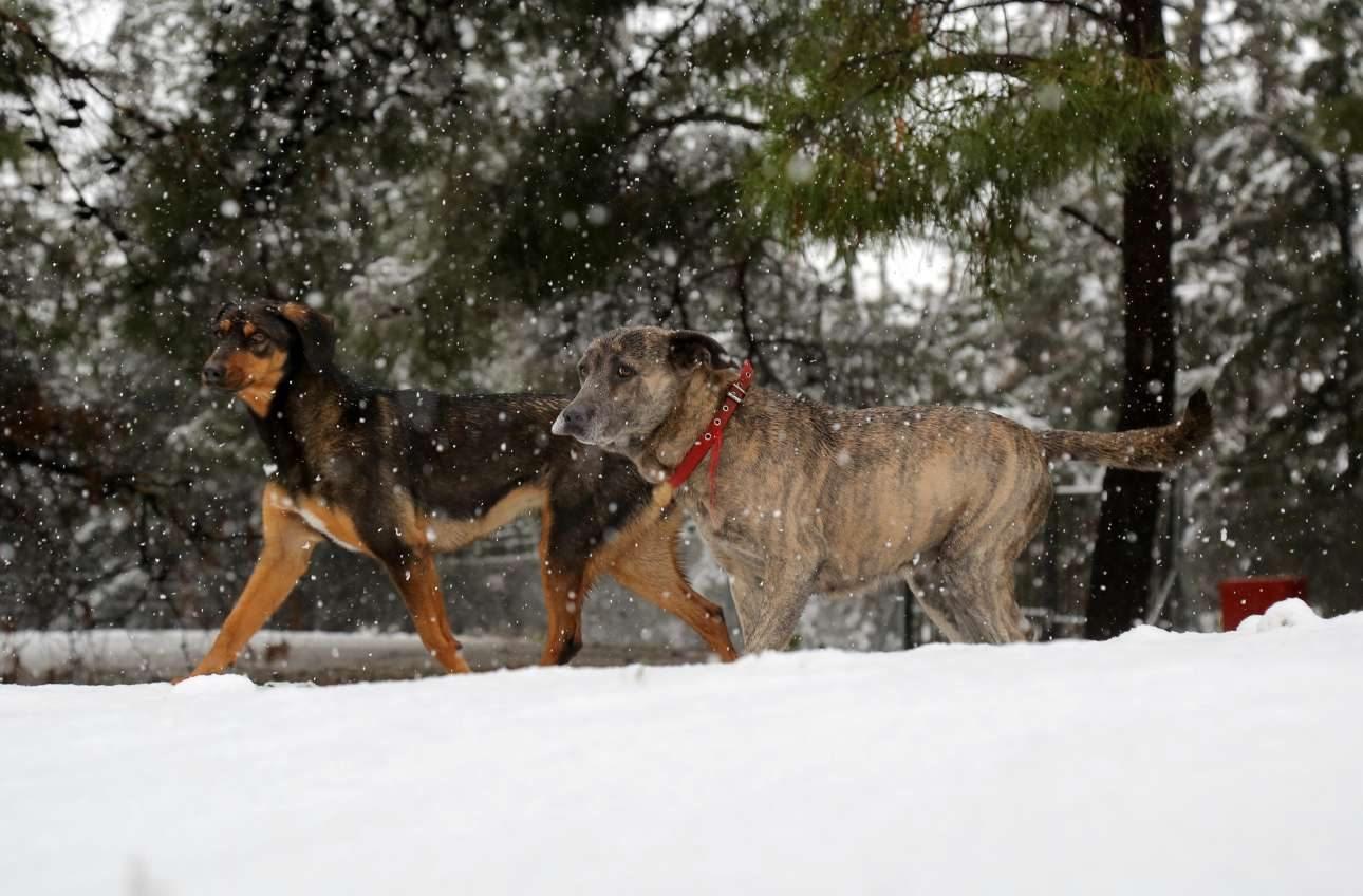 Ηράκλειο Κρήτης/ Χειμερινή βόλτα για τα σκυλιά που δεν δείχνουν να προβληματίζονται από το χιόνι που καλύπτει τα πάντα