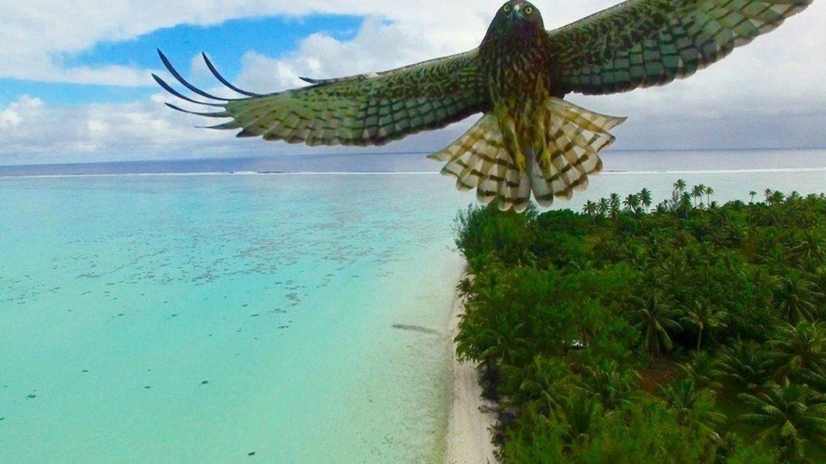 Μια εκπληκτική φωτογραφία -που τραβήχτηκε τυχαία - ενός αετού, καθώς πετάει πάνω από τις μαγευτικές ακτές της Γαλλικής Πολυνησίας