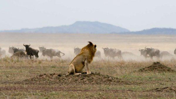 Lion_Gnus