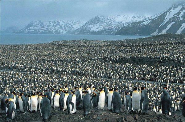 pinguins_Robert_Lafond_Flickr_