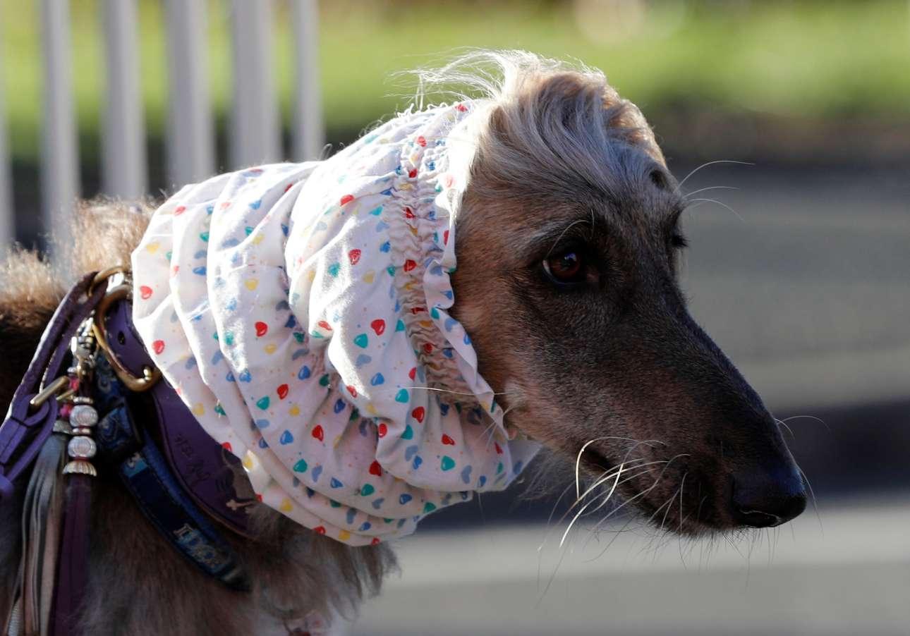 Πρώτη μέρα του διαγωνισμού και ένα σκυλί που θυμίζει ηλικιωμένη κυρία με μαντήλα φτάνει στο σόου σκυλιών του Μπέρμιγχαμ