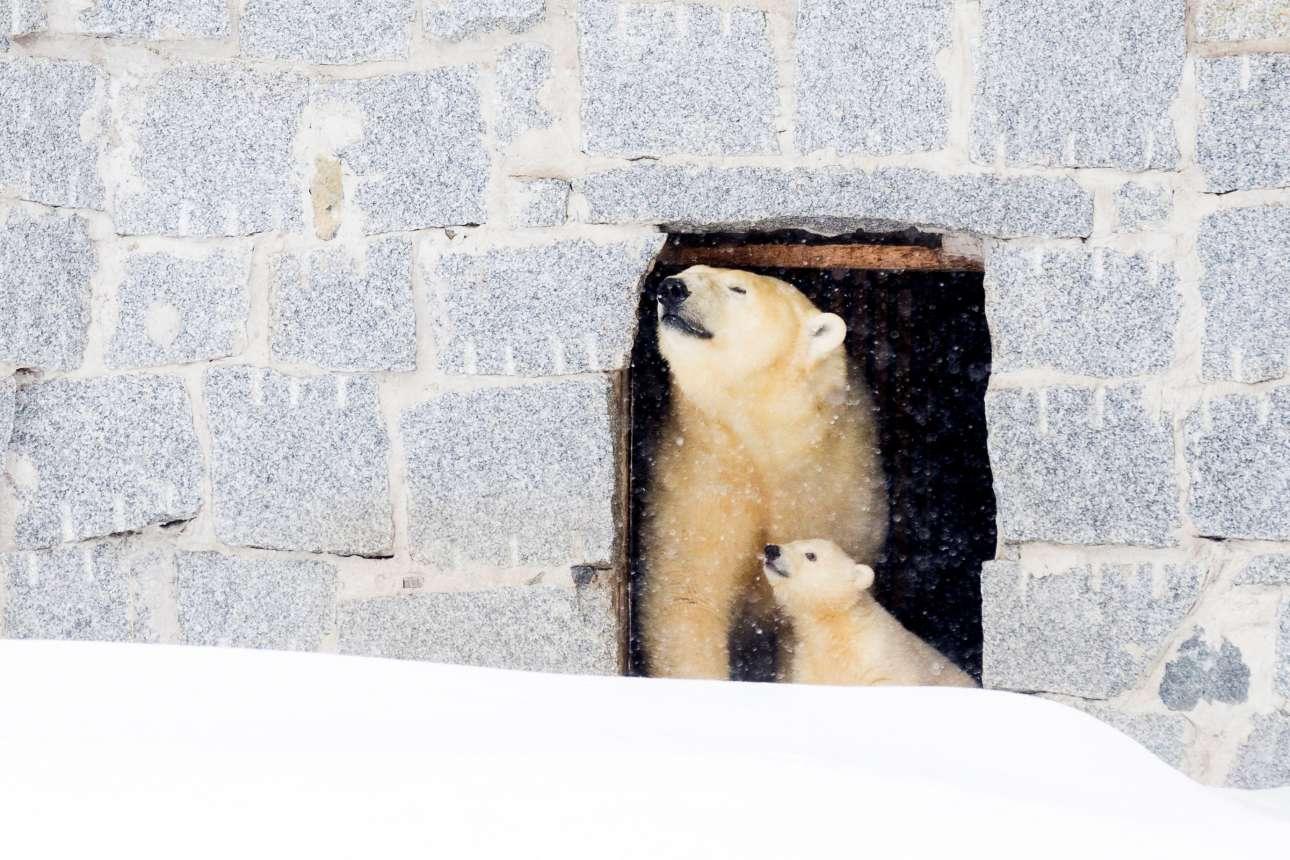 15 Μαρ. Ετσι μυρίζει η ελευθερία; Η πολική αρκούδα, Βίνους (Αφροδίτη) και το μικρό της, εξερευνούν για πρώτη φορά το Πάρκο Αγριας Φύσης Ρανούα στη Φινλανδία