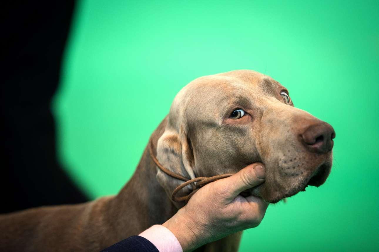 Ενα πανέμορφο σκυλί Βαϊμαράνερ διαγωνίζεται την τρίτη μέρα του Crufts 2017. Ο διαγωνισμός διαρκεί τέσσερις μέρες συνολικά