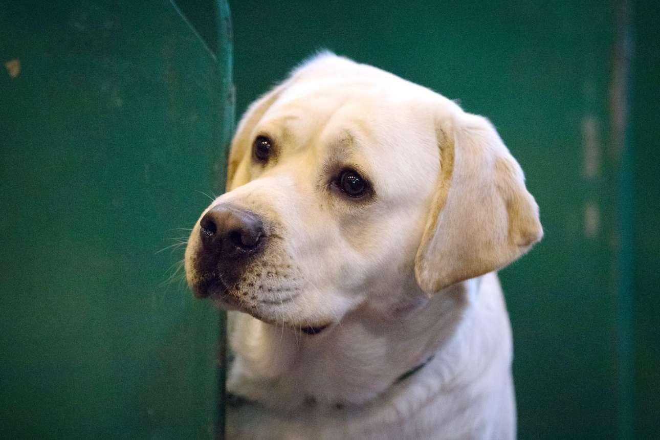 Ενα σκυλί Λαμπραντόρ κοιτάζει με αγωνία τις επιδόσεις των αντιπάλων του. Η ράτσα με τη μεγαλύτερη συμμετοχή στον διαγωνισμό ήταν τα Λαμπραντόρ Ρίτριβερ