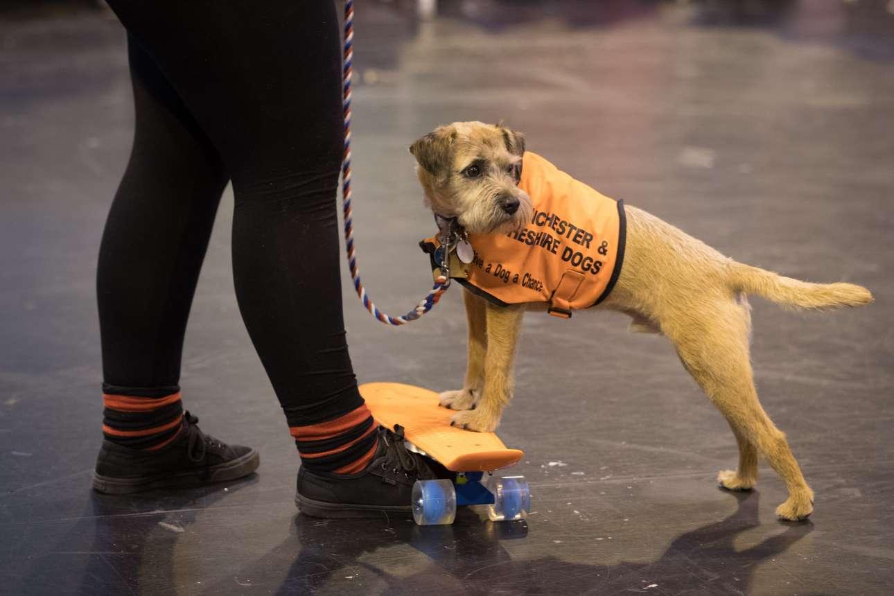 Ενα σκυλί από τη φιλοζωική οργάνωση του Μάντσεστερ και του Τσεσάιρ, διαγωνίζεται πάνω σε μία σανίδα του σκέιτ