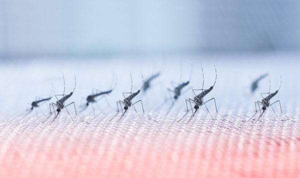 Mosquito_491197723_Protagon