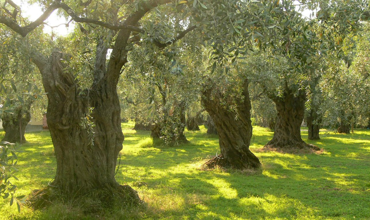 DENTRA_Olive_trees_on_Thassos_Wiki_1290