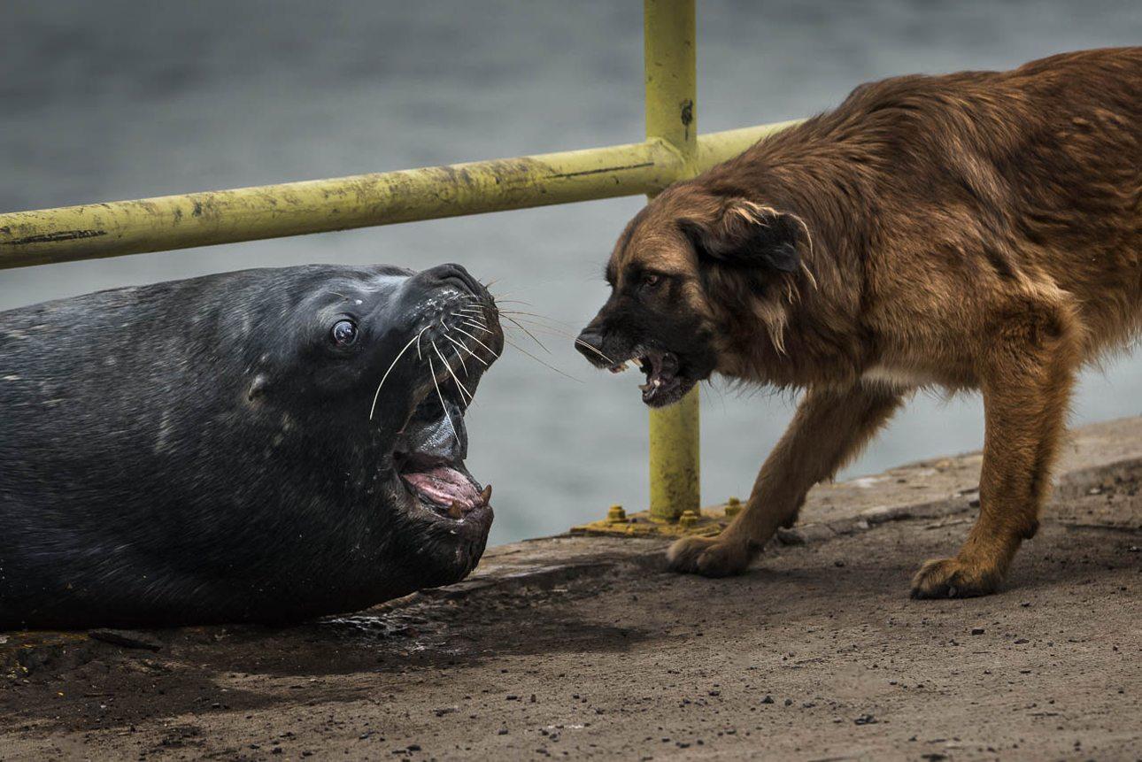 Επαινος, κατηγορία «Ζώα».  «Δικό μου είναι το ψάρι!» φαίνεται να φωνάζει το θαλάσσιο λιοντάρι στο επιθετικό σκυλί που θέλει να του το αρπάξει, σε ακτή της Χιλής