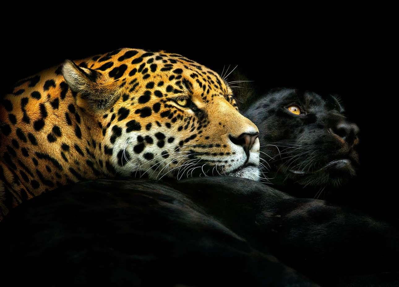 Πρώτο βραβείο, κατηγορία «Ζώα». Ο Εβενος (Ebony) και η Ιβουάρ (Ivory), ενα εκπληκτικό πορτρέτο με δύο ερωτευμένες λεοπαρδάλεις