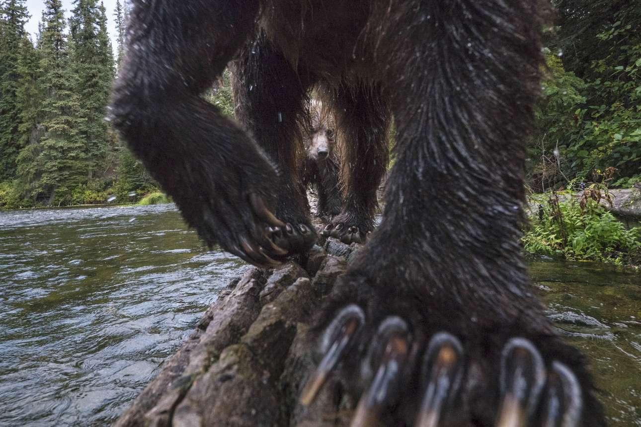 Πρώτο βραβείο, κατηγορία «Θηλαστικά». Στήνοντας την κάμερα στο ξύλο, ο βραβευμένος φωτογράφος απαθανάτισε τη στιγμή που δύο αρκούδες προσπαθούν να πιάσουν σολομούς, σε ένα πολύ ιδιαίτερο καρέ