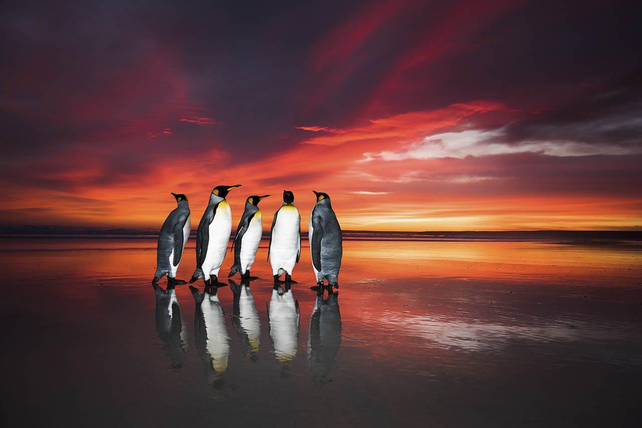 Επαινος, κατηγορία «Πουλιά και Νυχτερίδες». Μία παρέα βασιλικών πιγκουίνων απολαμβάνει τα υπέροχα χρώματα της ανατολής και την αντανάκλαση τους στην λαμπερή άμμο, πριν ξεκινήσουν να ψάχνουν για φαγητό