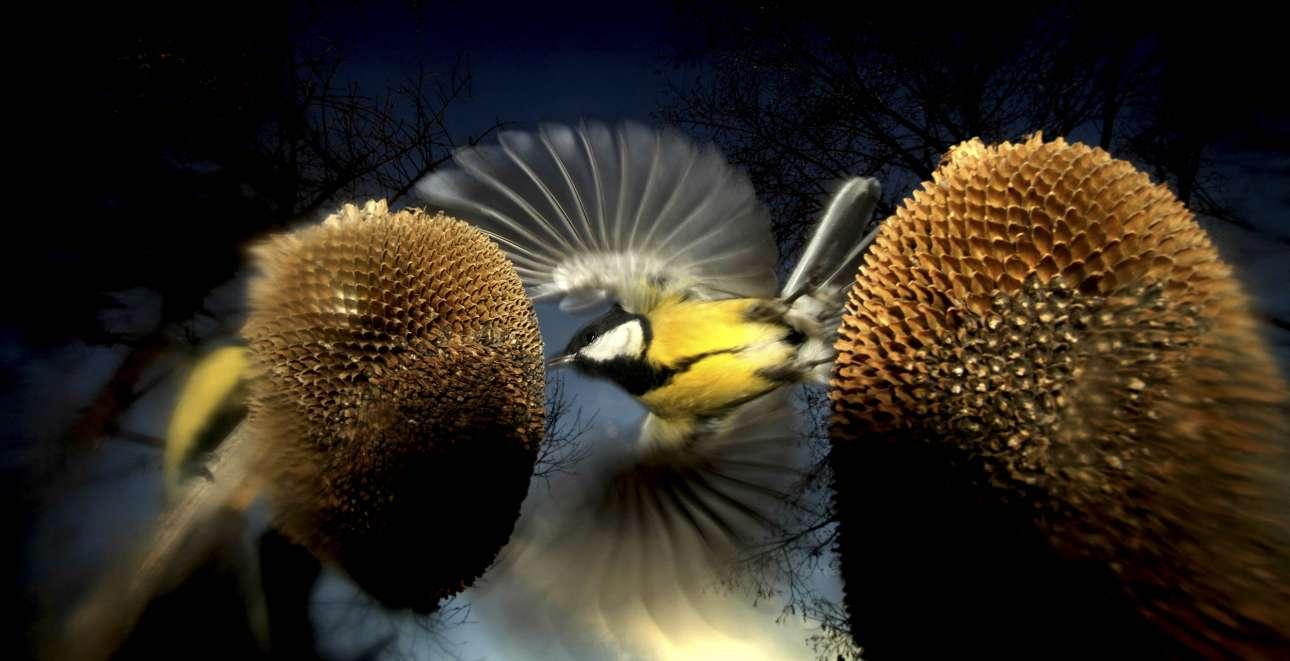 Πρώτο βραβείο, κατηγορία «Πουλιά και Νυχτερίδες».  Τα χωράφια με ηλιοτρόπια στην Ουγγαρία προσελκύουν όλων των ειδών πεινασμένα πουλιά κατά τη διάρκεια της συγκομιδής, προσφέροντας ένα παραμυθένιο θέαμα