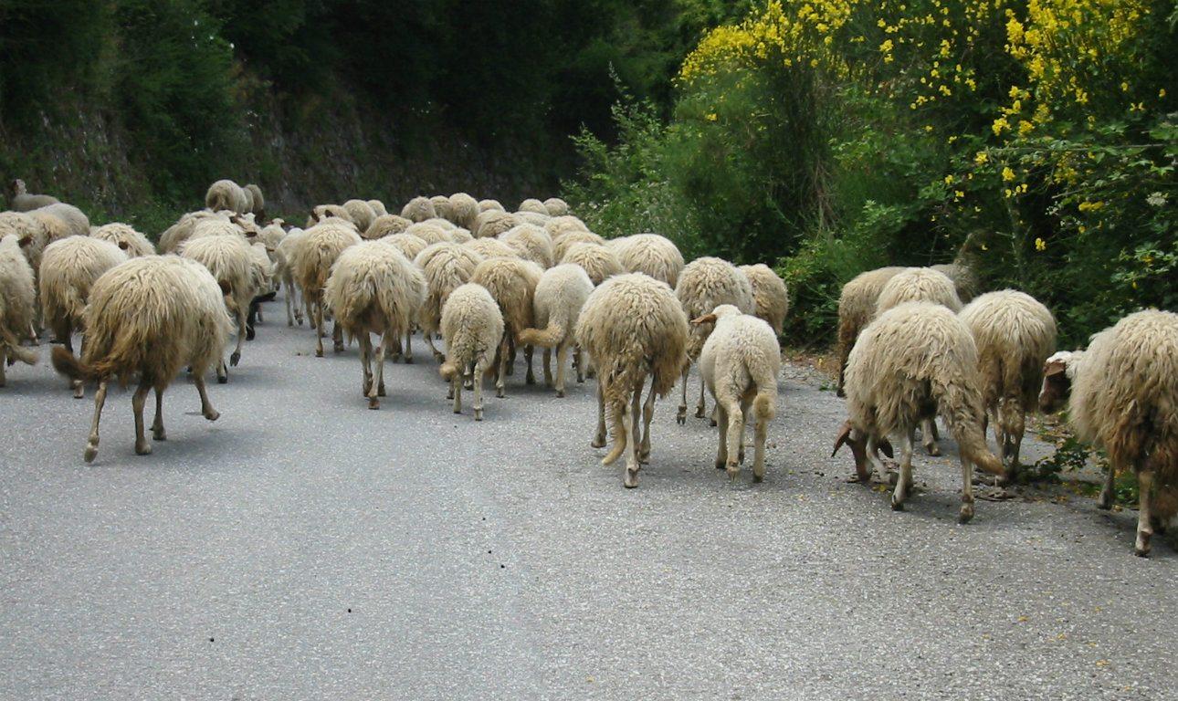 Sheeps_Calabria,_Italy_Wikimedia_1290