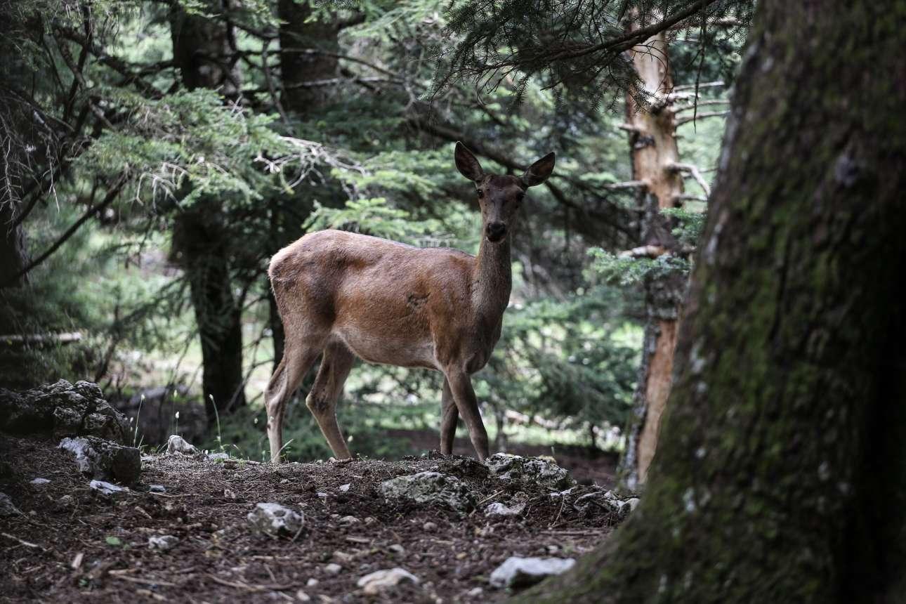 Τα ελάφια επέστρεψαν γρήγορα στο βουνό και βρήκαν καταφύγιο ανάμεσα σε όσα δέντρα γλίτωσαν. Τώρα οι πληθυσμοί αυτών των υπέροχων ζώων αυξάνονται