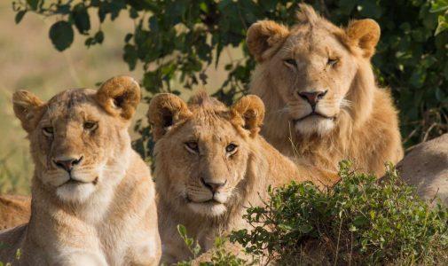 Lions_Family_Portrait_Masai_Mara