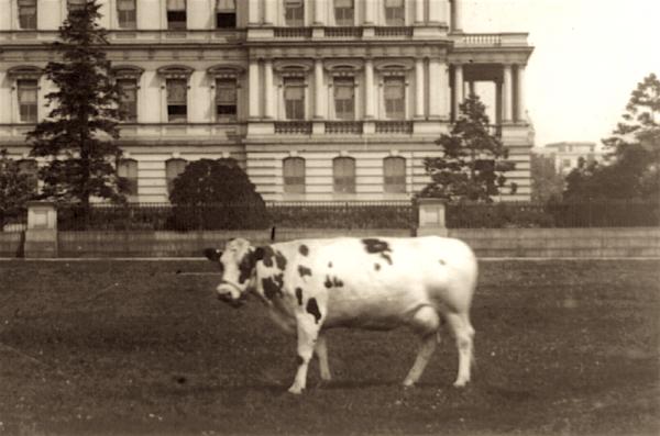 pauline-taft-pet-cow