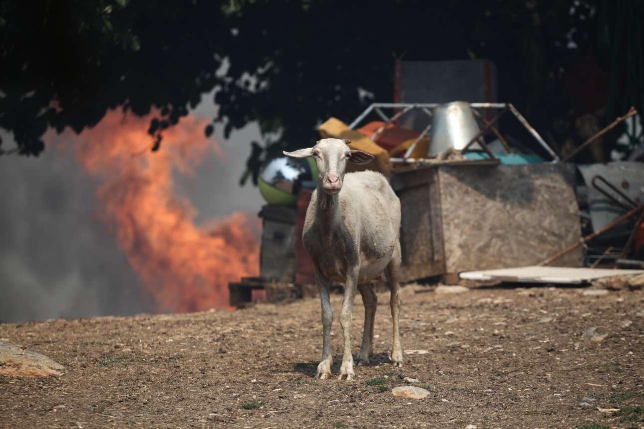 ...ένα πρόβατο στο Μικροχώρι, ίσως απορημένο για το κακό που συμβαίνει. Αλλωστε τα ζώα αντιλαμβάνονται με το ένστικτο