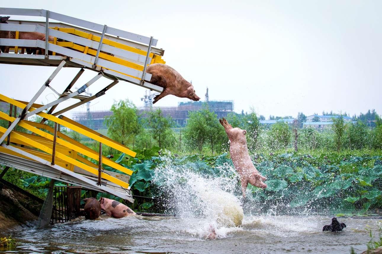 Δευτέρα, 14 Αυγούστου. Γουρούνια βουτούν στο νερό από μία ειδική πλατφόρμα σε μια μεγάλη φάρμα της πόλης Σενγιάνγκ στην Κίνα. Με αυτόν τον τρόπο τα ζώα διασκεδάζουν ενώ παράλληλα ασκούνται