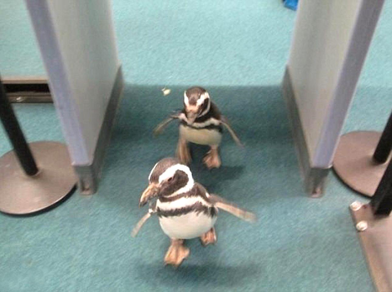Δύο πιγκουίνοι περνάνε από τον έλεγχο ασφαλείας του αεροδρομίου Νόρφολκ στη Βιρτζίνια των ΗΠΑ