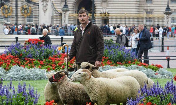 Buckingham-sheeps-FBa