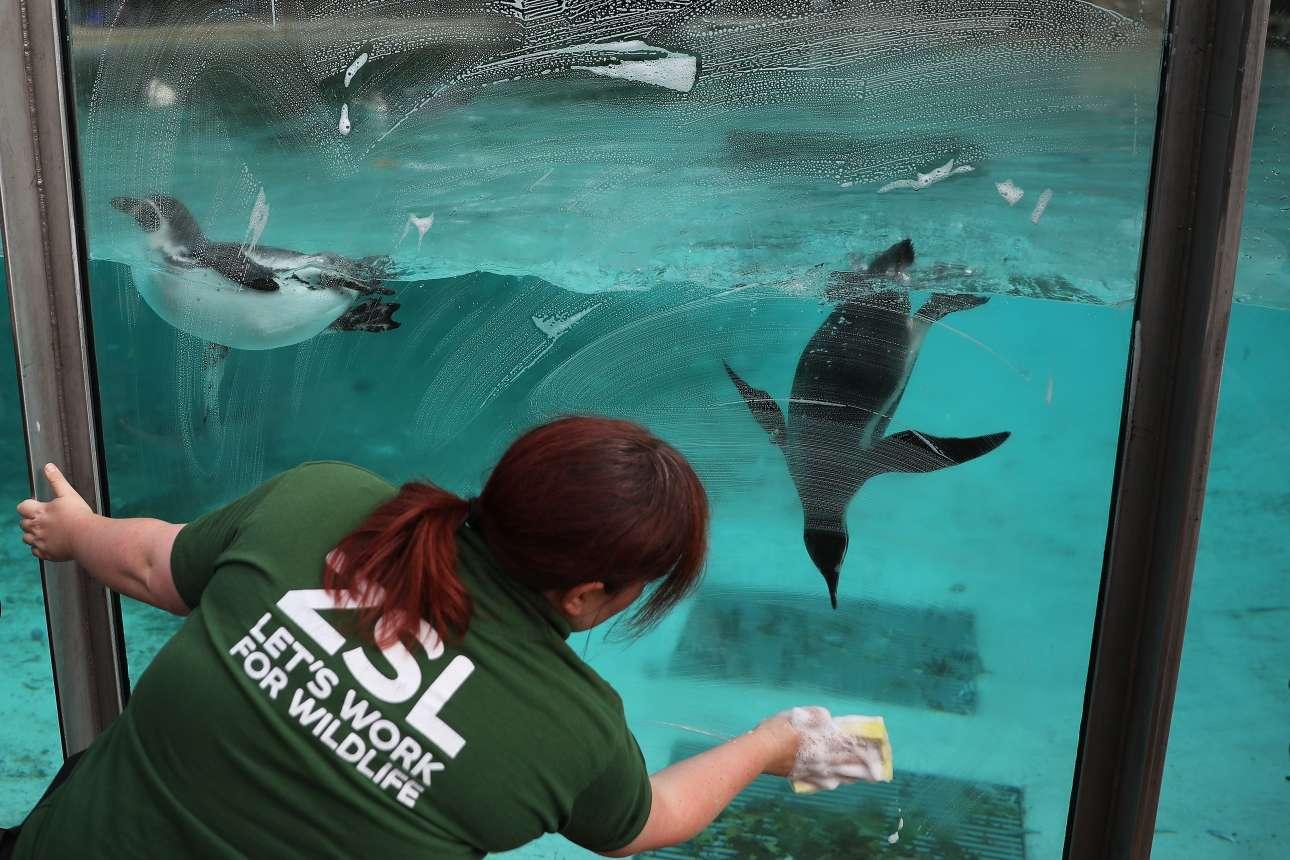 Πέμπτη, 24 Αυγούστου. Γυναίκα καθαρίζει το ενυδρείο μέσα στο οποίο κολυμπούν μικροί πιγκουίνοι. Τα όμορφα ζώα προετοιμάζονται για φωτογραφία που θα διαφημίζει εκδήλωση του Ζωολογικού Πάρκου του Λονδίνου