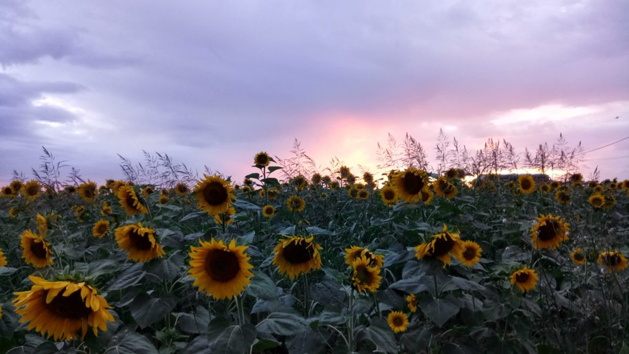 Ηλιοτρόπια «γυρίζουν την πλάτη τους» στον ήλιο την ώρα που εκείνος δύει, περιμένοντας το ξημέρωμα
