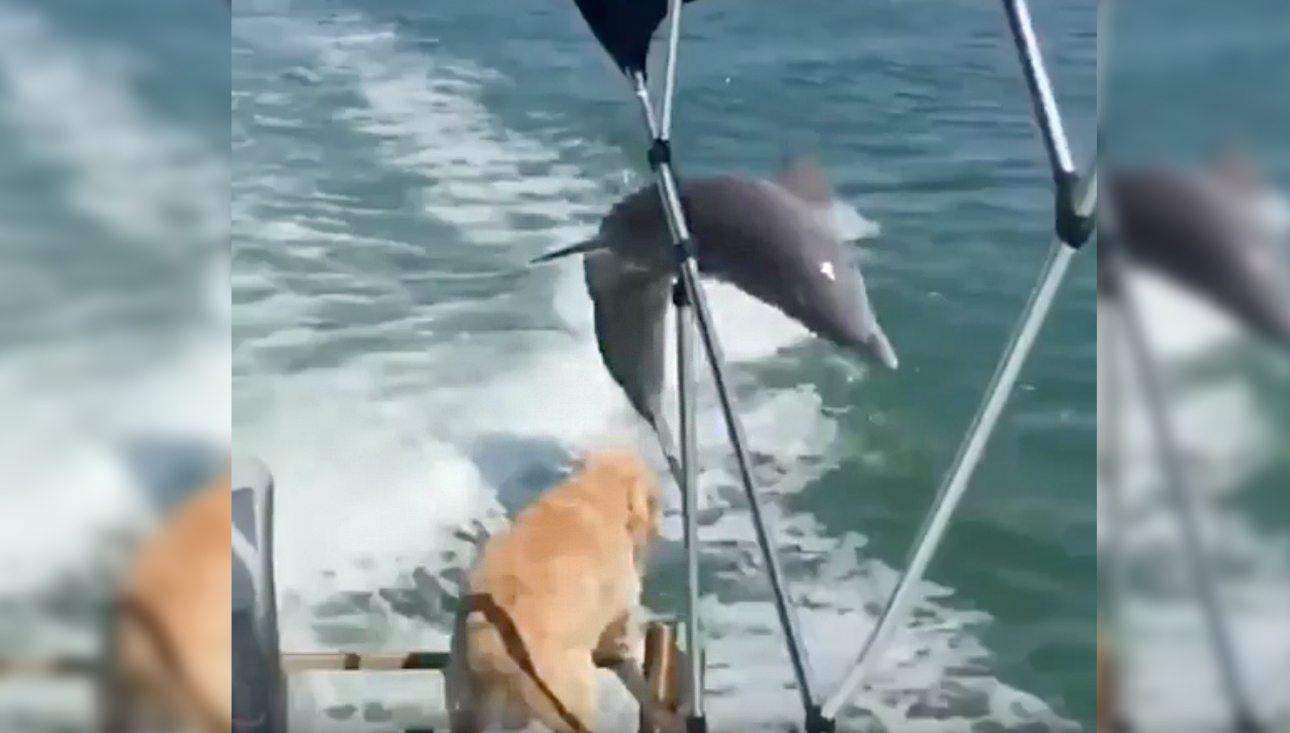 dolphindog