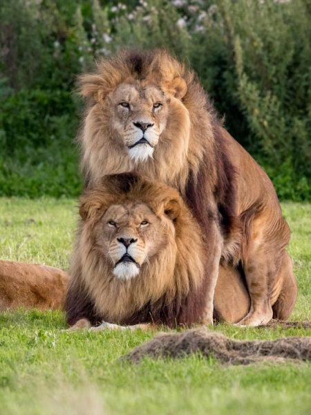 gay-lions-2