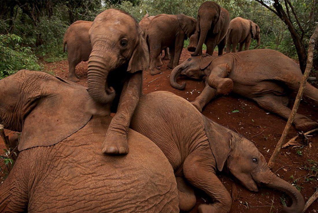 Ορφανοτροφείο ελεφάντων στην Κένυα το 2010