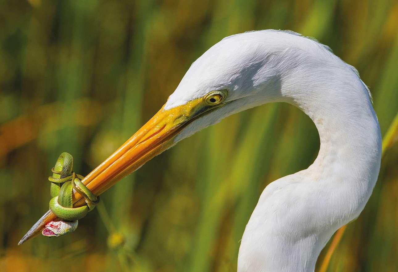 Κατηγορία «Συμπεριφορά πτηνών». Μία συγκλονιστική μάχη μεταξύ ερωδιού και φιδιού. Μετά από είκοσι λεπτά, ο μεγάλος λευκός ερωδιός αναγκάστηκε να απελευθερώσει το θήραμα του