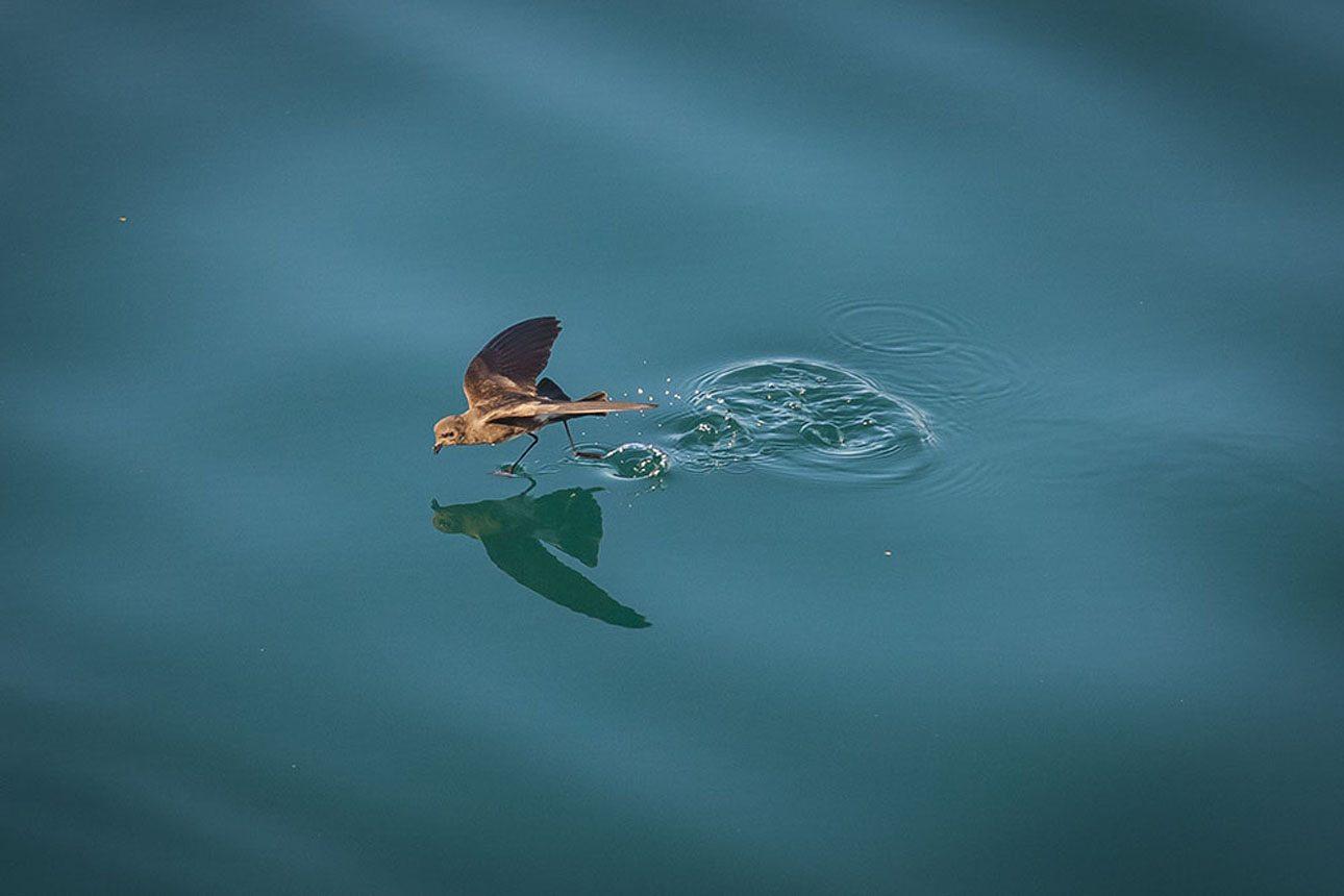 Πρώτο Βραβείο. Ενα πουλί μοιάζει σαν να περπατάει πάνω στα νερά του νησιού Φερναντίνα. Η φωτογραφία που κέρδισε το πρώτο βραβείο καταφέρνει να αποτυπώσει κάθε λεπτομέρεια, μέχρι τις μικρές σταγόνες νερού που εκτινάσσονται