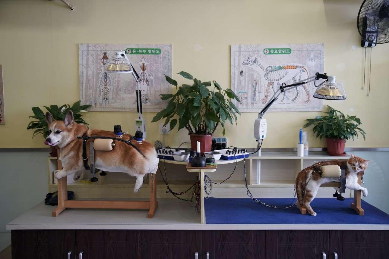 Η Διεθνής Εταιρεία Κτηνιατρικού Βελονισμού υποστηρίζει πως ο βελονισμός χρησιμοποιείται ως πρακτική στην κτηνιατρική της Κίνας εδώ και πολλά χρόνια για να θεραπεύσει διάφορες ασθένειες