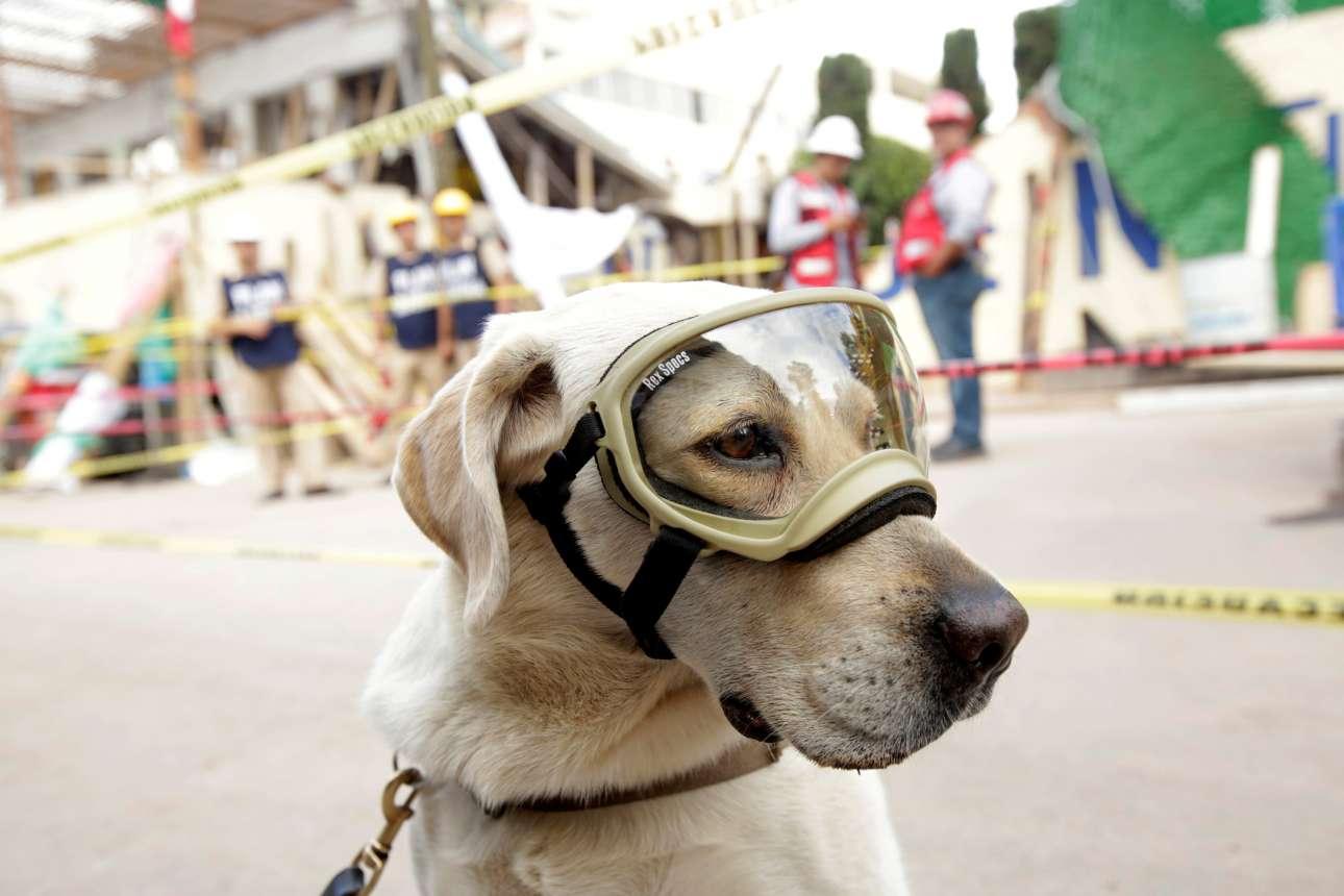 Σάββατο, 23 Σεπτεμβρίου. Ανάμεσα στα τετράποδα που αναζητούν επιζώντες στα χαλάσματα του Μεξικού είναι και η Φρίντα, η σκυλίτσα που λατρεύουν στην χώρα της Λατινικής Αμερικής αφού έχει σώσει την ζωή δεκάδων ανθρώπων