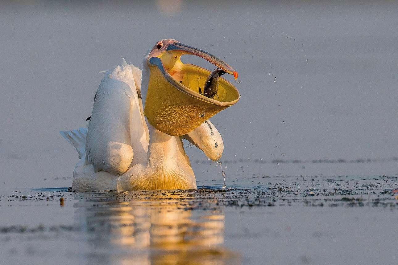 Κατηγορία «Καλύτερο Πορτρέτο». Το στόμα ενός πελεκάνου θυμίζει ψάθινο καλάθι, καθώς το ανοίγει για να φάει ένα ψάρι στο Δέλτα του Δούναβη στη Ρουμανία