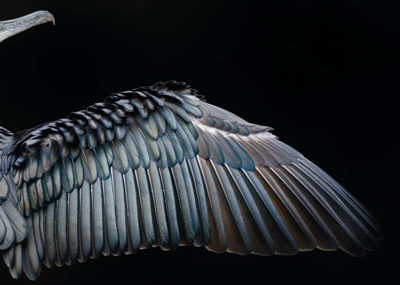 Χρυσό βραβείο, κατηγορία «Προσοχή στη λεπτομέρεια». Απίθανη λεπτομερής απεικόνιση του φτερού ενός κορμοράνου, φωτογραφημένο στο Χάιντ Παρκ του Λονδίνου