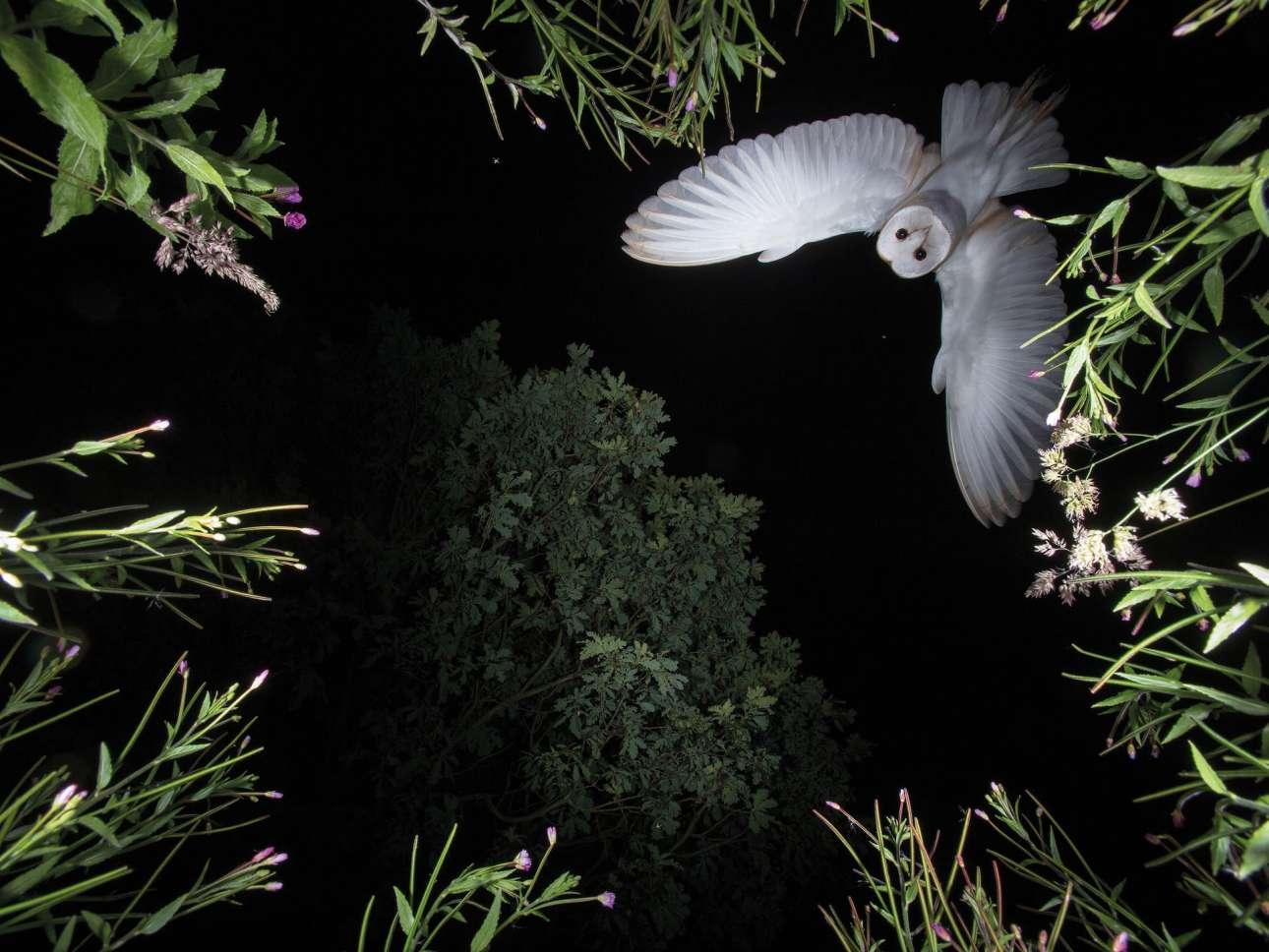 Κατηγορία «Συμπεριφορά Πτηνών». Σαν σκηνή βγαλμένη από θρίλερ, μία κουκουβάγια πετάει μέσα στο σκοτάδι στην εξοχή της Βρετανίας