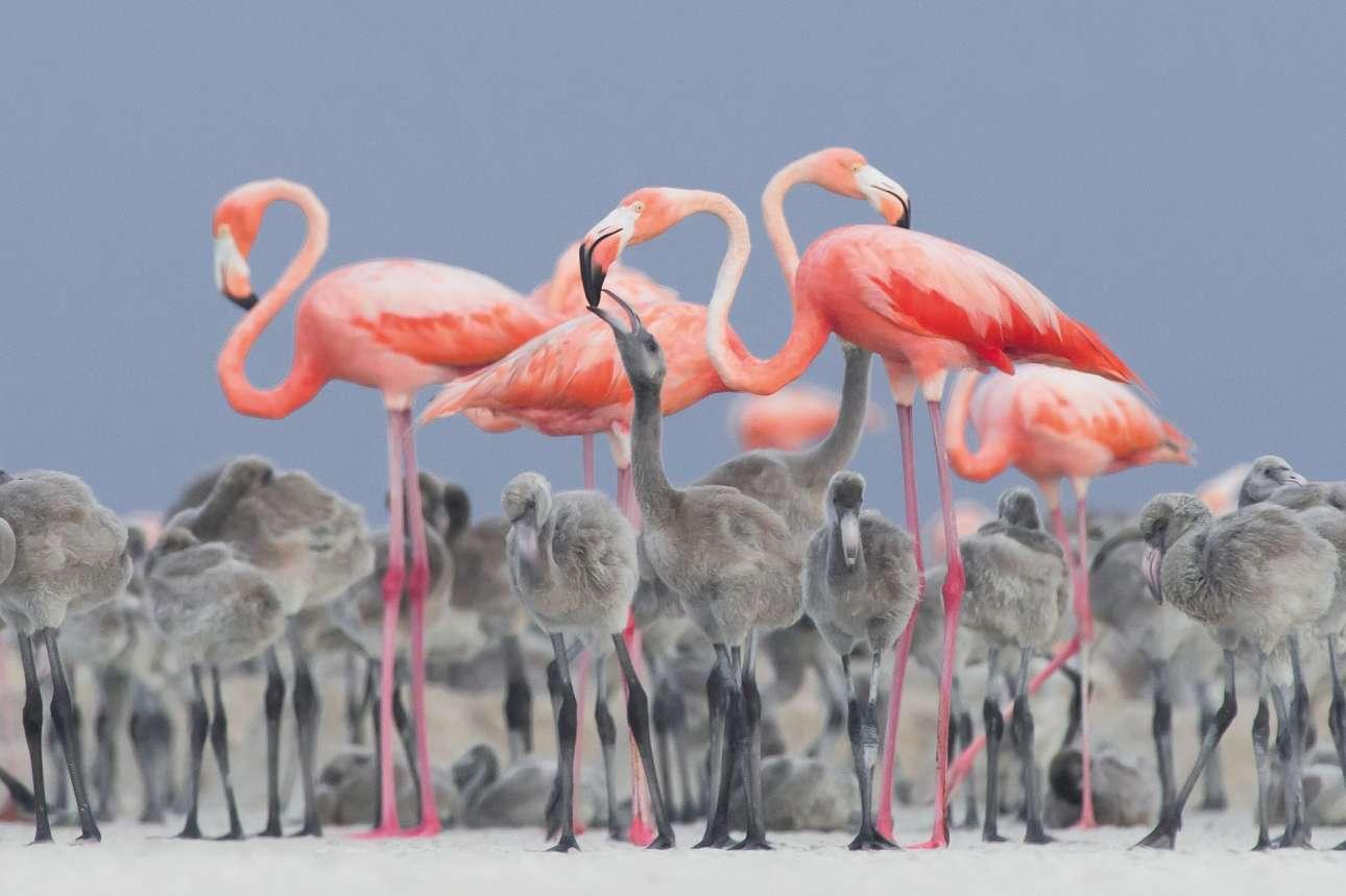 Χρυσό Βραβείο και Φωτογράφος Πτηνών της Χρονιάς. Φλαμίνγκος ταΐζουν τους νεοσσούς τους. Ο μεξικανός φωτογράφος Αλεχάνδρο Πριέτο Ρόχας κέρδισε το μεγάλο βραβείο του διαγωνισμού με την παραπάνω εξαιρετική φωτογραφία